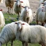Il giardiniere costa troppo ed inquina? Ci pensano gli amici ovini!