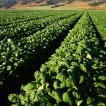"""Fotovoltaico: pannelli solari più """"forti"""" con l'aggiunta di spinaci"""