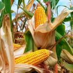 Energia da biomassa dal mais danneggiato dalla siccità