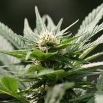 Biodiesel dalla marijuana in sperimentazione in California