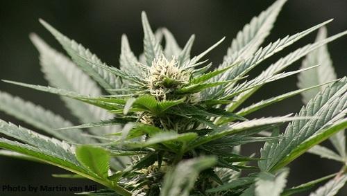 biodiesel dalla marijuana.