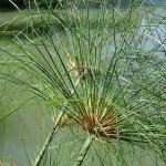 Inquinamento acque: la soluzione potrebbe essere il papiro
